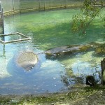 Nonreleasable manatees