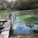 Homosassa manatees getting fed cabbage