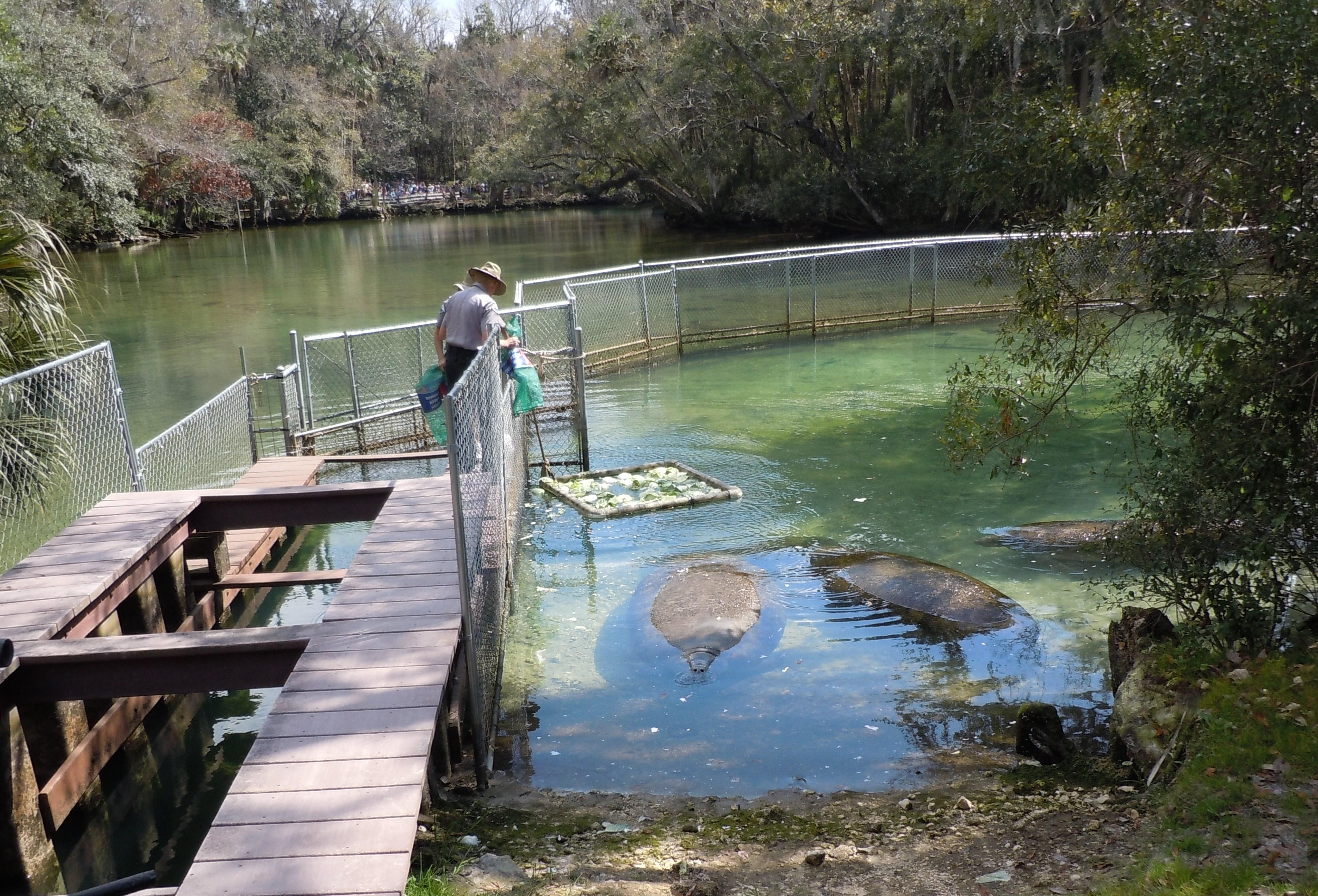 Homosassa Manatees Getting Fed Cabbage Animaltourism News