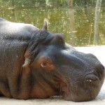 Hippo Lu, 51