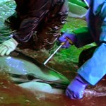 The German group Atlantic Blue documented a new, more discreet way to kill dolphin in Taijii