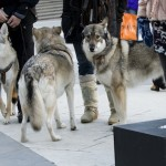 Wolfdogs are seen during a demonstration