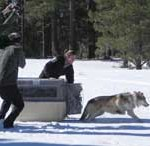 Mexican Wolf Release