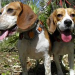 Beagles smile in the warm weather