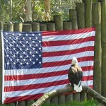 Squirrel on fence torments bald eagle