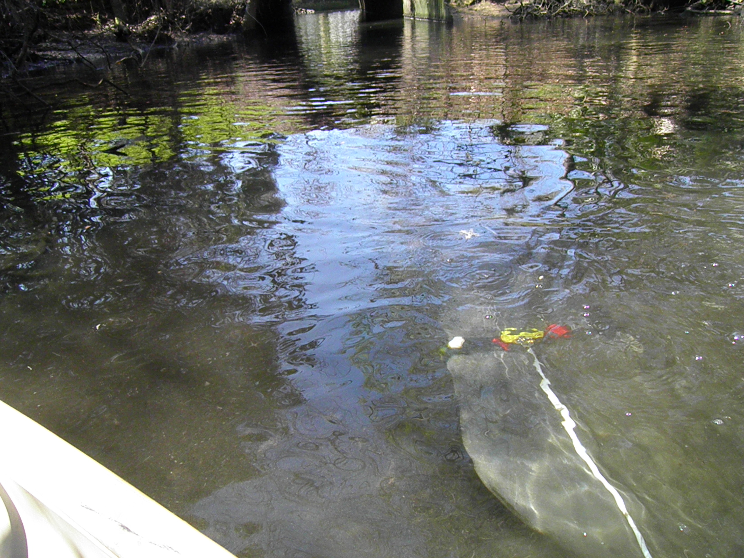 Tagged manatee swims by