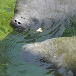 Blue Springs State Park Manatee Family