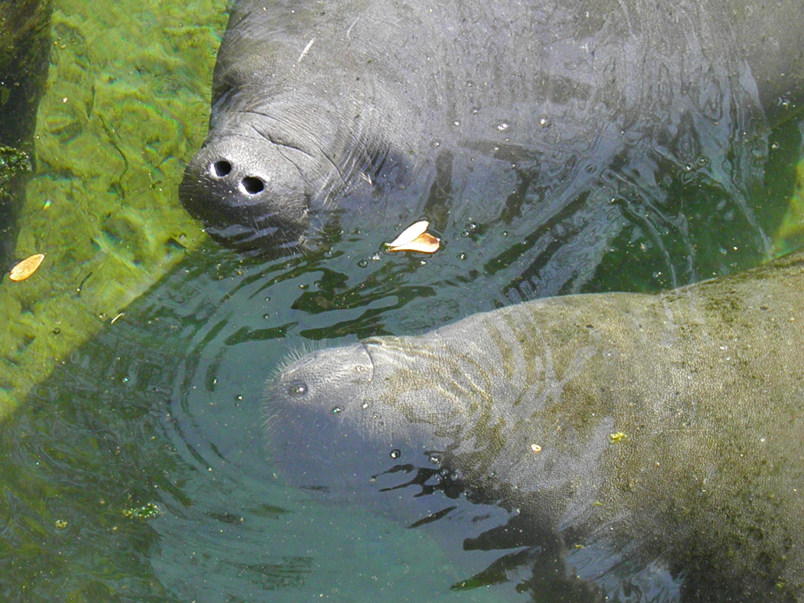 Viewing - Save the Manatee Club