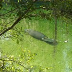 Blue Springs Manatee Calf with Tag