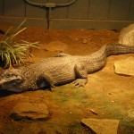 endangered paraguan caiman