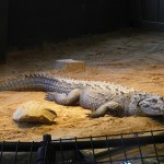 endangered American crocodile