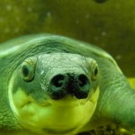 pig-nosed turtle (Carettochelys insculpta)