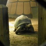 Aladabra tortoise