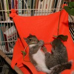 Baby squirrels enjoy a fleece hammock and leaves