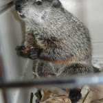 Groundhog found in SoHo, released in the Bronx