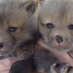 Tame fox pups for sale from Sibfox