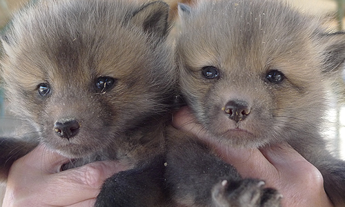 Buy Your Own Pet Fox Puppy And Save Important Research