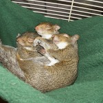 Three squirrel sisters sleep