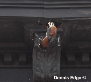 Kestrel at a hole in a cornice