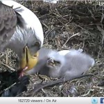 eagle feeds chick