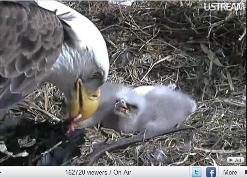 eagle nest in decorah