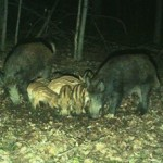 A feral pig family / NY DEC