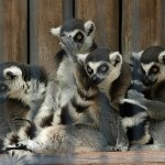 Lemur / Open Cages Info