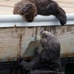 Otter mom tends her pup on Monterey dock on Wild Kingdom