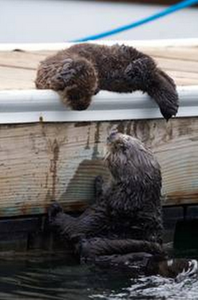 otter family on wild kingdom