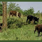 wild pigs, feral hogs