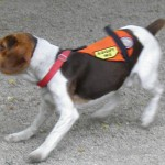 Beagle for adoption in New York