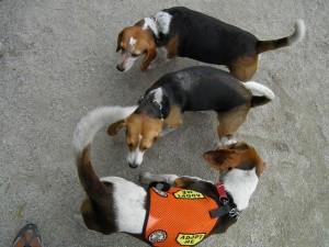Tompkins Square Beagle Meetup
