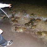 Horseshoe crab counting