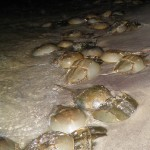 Horseshoe crab mating cluster