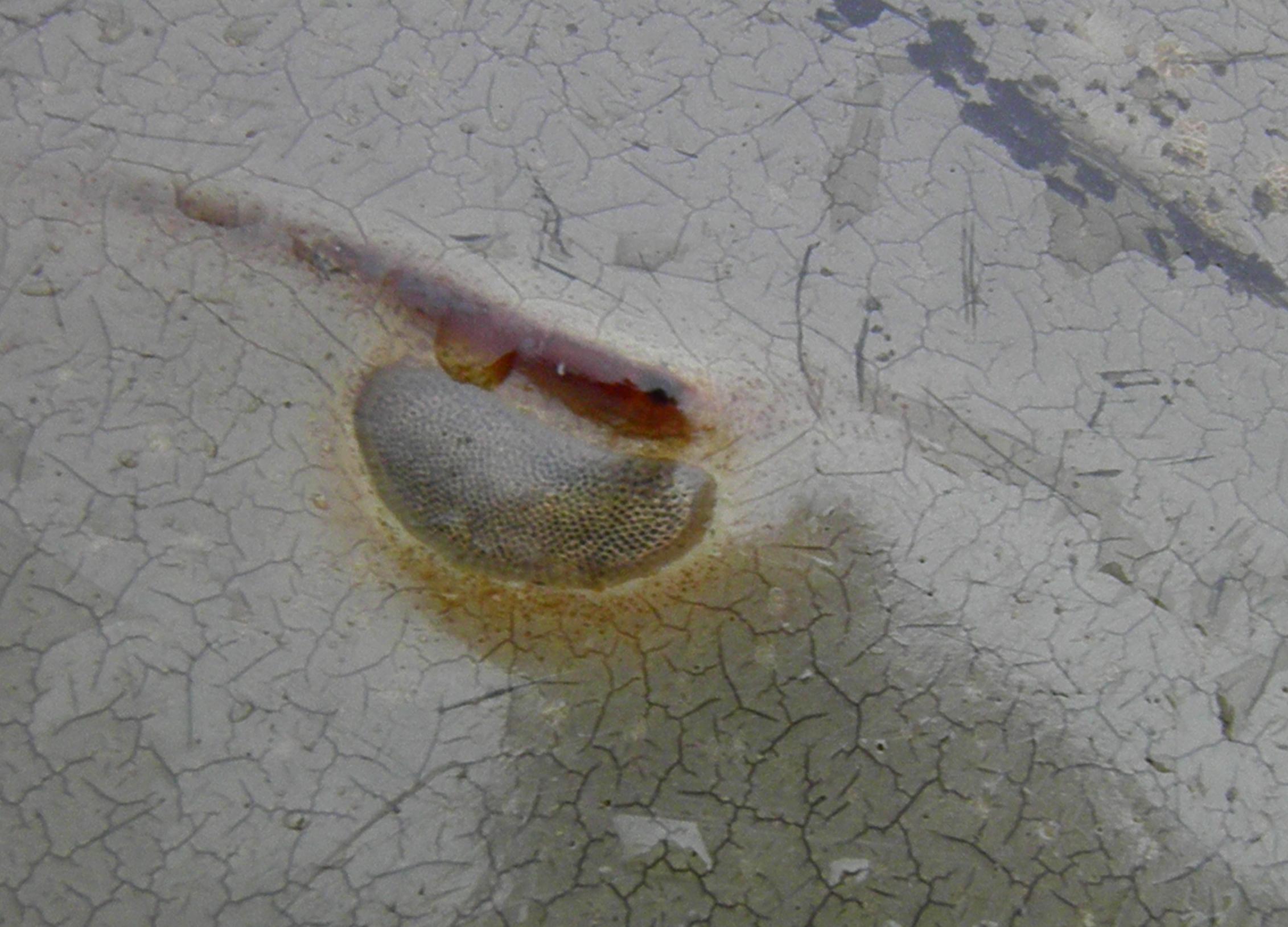 Giant Horseshoe Crab Horseshoe Crab Eye