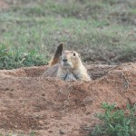 NM Black-Tailed Prairie Dog (Cynomys ludovicianus) / Jerry Oldenettel