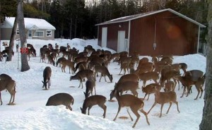 Deer in Eagle River, Wisconsin