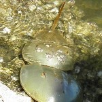 horseshoe crabs mating