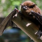 little brown bat BY randomtruth