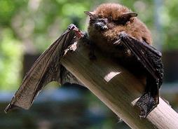 little brown bat BY randomtruth