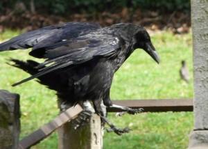 raven jumps