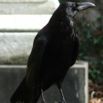 Samantha the raven lived in the Marble Cemetery in Manhattan