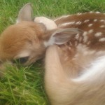 tiny spotted baby deer