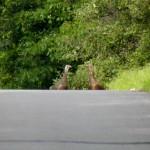 Turkeys cross road
