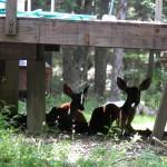deer hide under porch, Bushkill, PA
