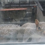 Baby squirrel knocks on my window