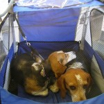 The beagles rest comfortably in a bike stroller on the train