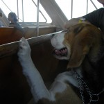 Moxie the beagle is excited to ride the ferry to Fire Island