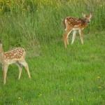 deer fawn twins
