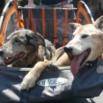 A bike trailer / stroller is also great for getting senior dogs around. Here Jolly (right) rides with his girlfriend Shadow.